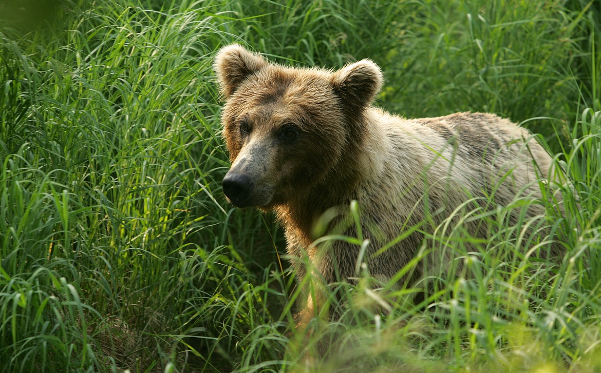 brown bear, grizzly bear, Alaska, Alaskan Cruise, wildlife photography