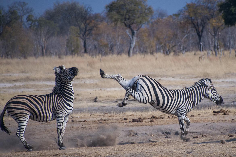 zebra, zebra images, zebra photos, Zimbabwe wildlife, Zimbabwe wildlife images, Zimbabwe wildlife photos, zebras in Zimbabwe, african safari wildlife, Zimbabwe safari wildlife, Zimbabwe safari wildlife photos, Little Makalolo, Hwange National Park