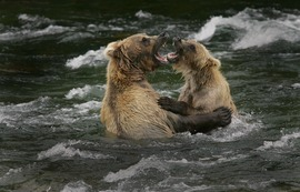 grizzly bears, sparring, Alaska, brown bears, bear fight, river