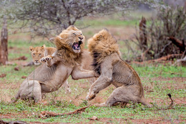 lion, lion photos, photos of lions fighting, south africa wildlife, south africa wildlife photos, africa wildlife, africa wildlife photos, lions in south africa, Kruger national park, lions in kruger national park, male lions fighting