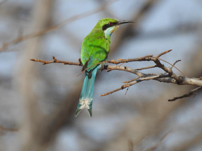 bee eater, bee eater photos, bee eaters in Africa, Africa safari, African wildlife, African birds, Zimbabwe birds, Zimbabwe widlife