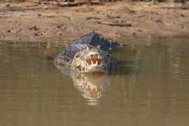 caiman, caiman photos, caiman in Brazil, caiman in the pantanal, pantanal wildlife, Brazil wildlife, pantanal wildlife photos, pantanal photos