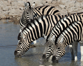 zebra, zebra images, zebra photos, namibia wildlife, namibia wildlife images, namibia wildlife photos, zebras in namibia, african safari wildlife, namibia safari wildlife, namibia safari wildlife photos, Etosha National Park, Etosha National Park wildlife