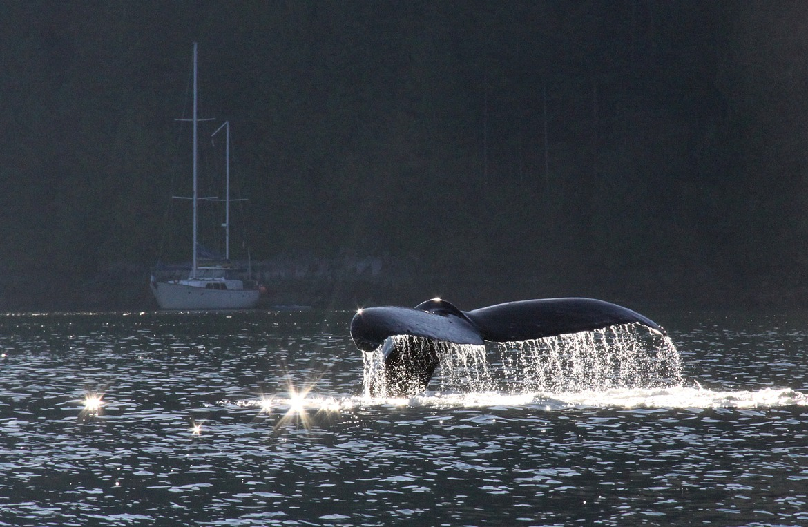 Humpback whale, whale tail, British Columbia, Canada, whale photography, whale images, whale pictures, British Columbia photography
