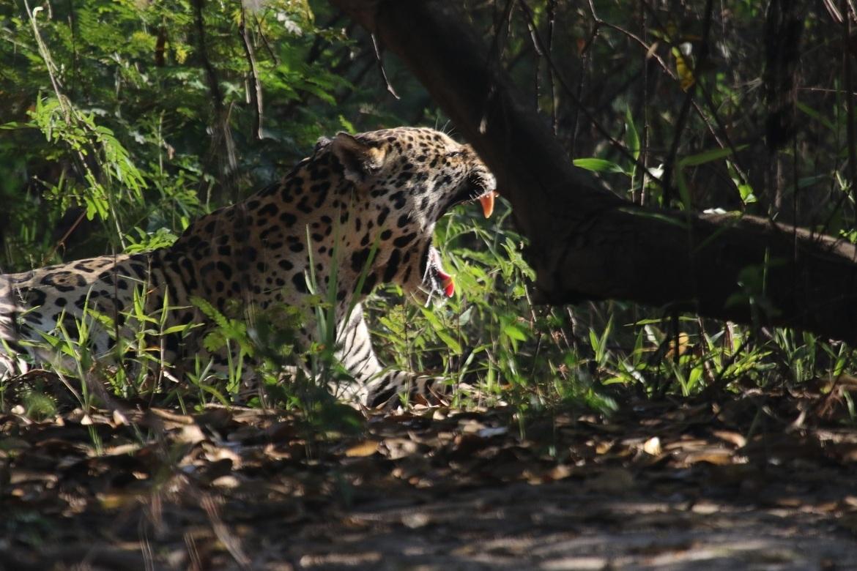 jaguar, jaguar photos, wild jaguars, pantanal wildlife, brazil wildlife, jaguars in the pantanal, jaguars in brazil, south american wildlife