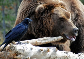 grizzly bear, brown bear, grizzly photos, brown bear photos, Yellowstone National Park, Yellowstone wildlife, Yellowstone bears, raven, crow