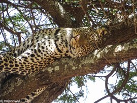 leopard, leopard photos, leopard images, tanzania leopards, tanzania safari images, tanzania wildlife images, tanzania wildlife photos, sereneti, serengeti photos, serengeti wildlife, serengeti wildlife photos