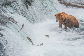grizzly bear, brown bear, grizzly photos, brown bear photos, alaska wildlife, alaska bears, bears fishing, alaska bear photos, united states wildlife, united states wildlife photos, Brooks Falls, Brooks Falls wildlife, sockeye salmon
