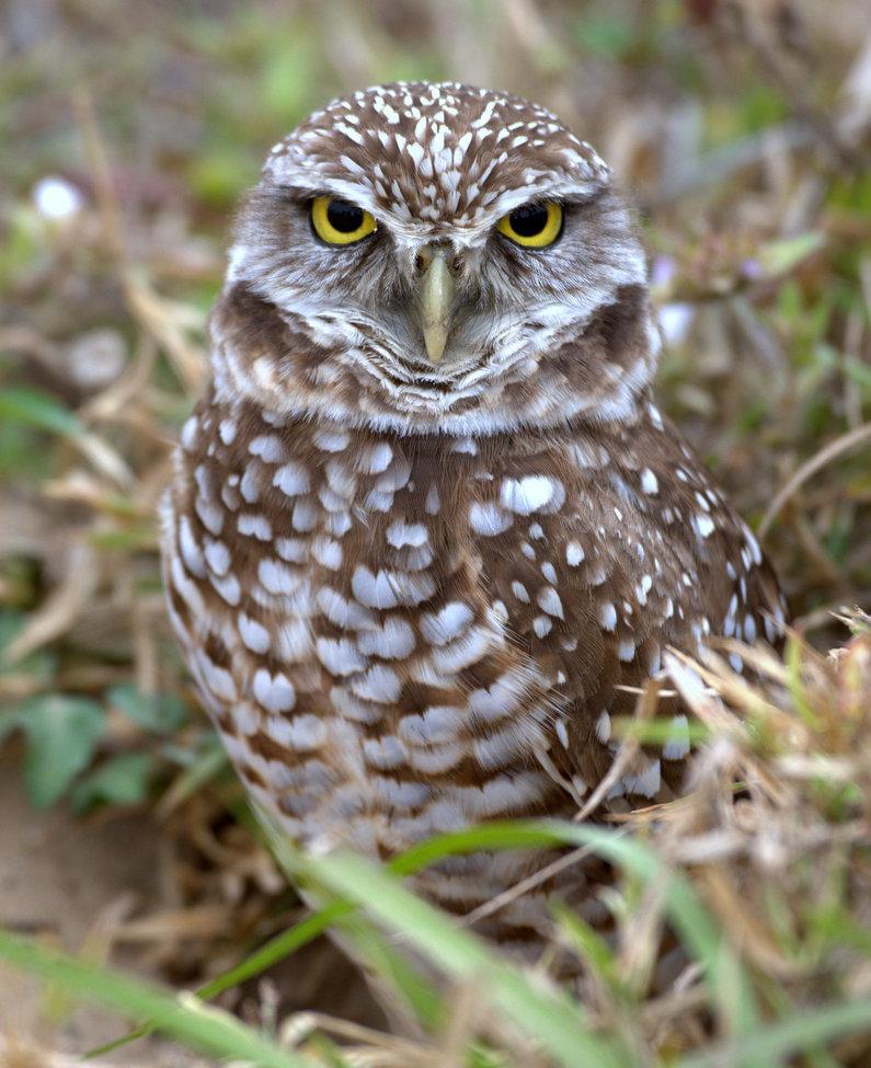 burrowing owl, burrowing owl photos, owl photos, Florida birds, Florida wildlife, birds in the US, wildlife in the US