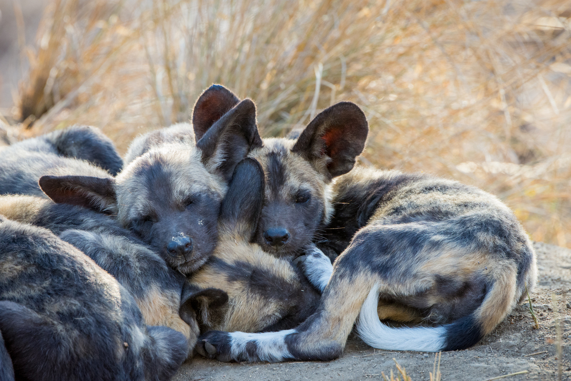 african wild dog, african wild dog photos, african wild dog pups, African wild dog pack, South African wildlife, wild dogs in Africa, Ngala Private Reserve, Ngala wildlife