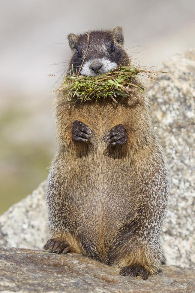 marmot, marmot photos, Colorado wildlife, marmots in Colorado, Mount Evans, Mount Evans wildlife, marmots on Mount Evans
