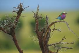 lilac breasted roller, lilac breasted roller photos, lilac breasted roller images, Kenya wildlife, Kenya wildlife images, Kenya wildlife photos, africa wildlife, africa safari, Kenya safari, Kenya birds, Maasai Mara, Rift Valley