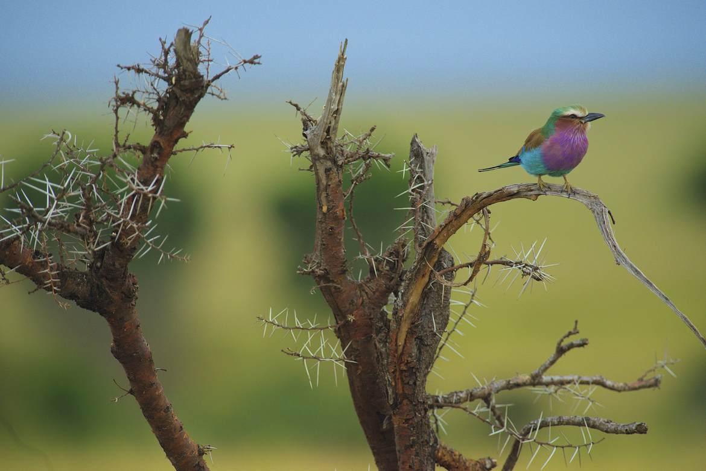 lilac breasted roller, lilac breasted roller photos, lilac breasted roller images, Kenya wildlife, Kenya wildlife images, Kenya wildlife photos, africa wildlife, africa safari, Kenya safari, Kenya birds, Maasai Mara, Rift Valley