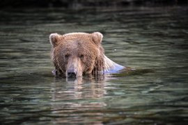 brown bear, grizzly bear, brown bear photos, grizzly bear images, grizzly fishing, Katmai National Park, Katmai National Park wildlife, united states wildlife photos, Alaska wildlife, Alaska bears, Alaska photos, Alaskan brown bear