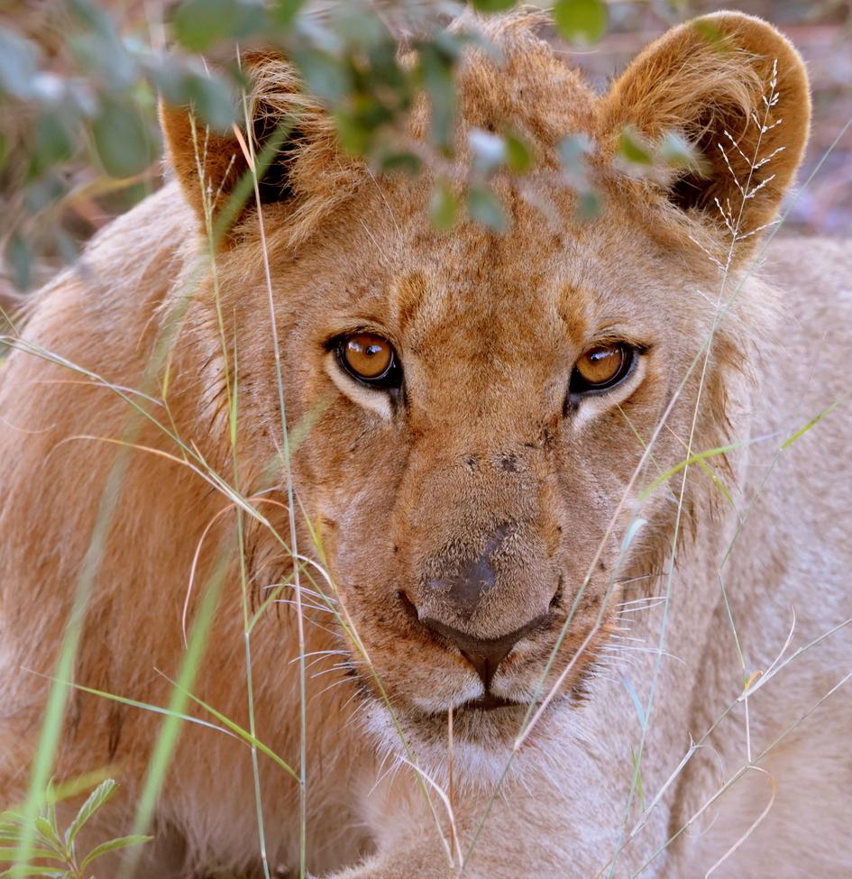 lion, lion photos, botswana wildlife, botswana wildlife photos, africa wildlife, africa wildlife photos, lions in botswana, photos of lions in botswana, botswana safari, botswana safari photos, africa safari, Okavango wildlife, Okavango Delta