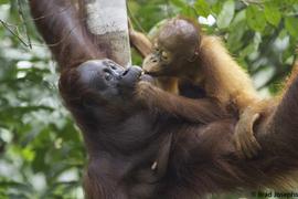 orangutan, orangutan photos, Borneo wildlife, Borneo orangutan, Borneo wildlife photos, sarawak, semengoh