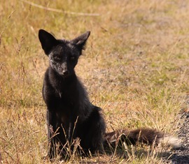 black fox photo, san juan islands, washington state, United States wildlife