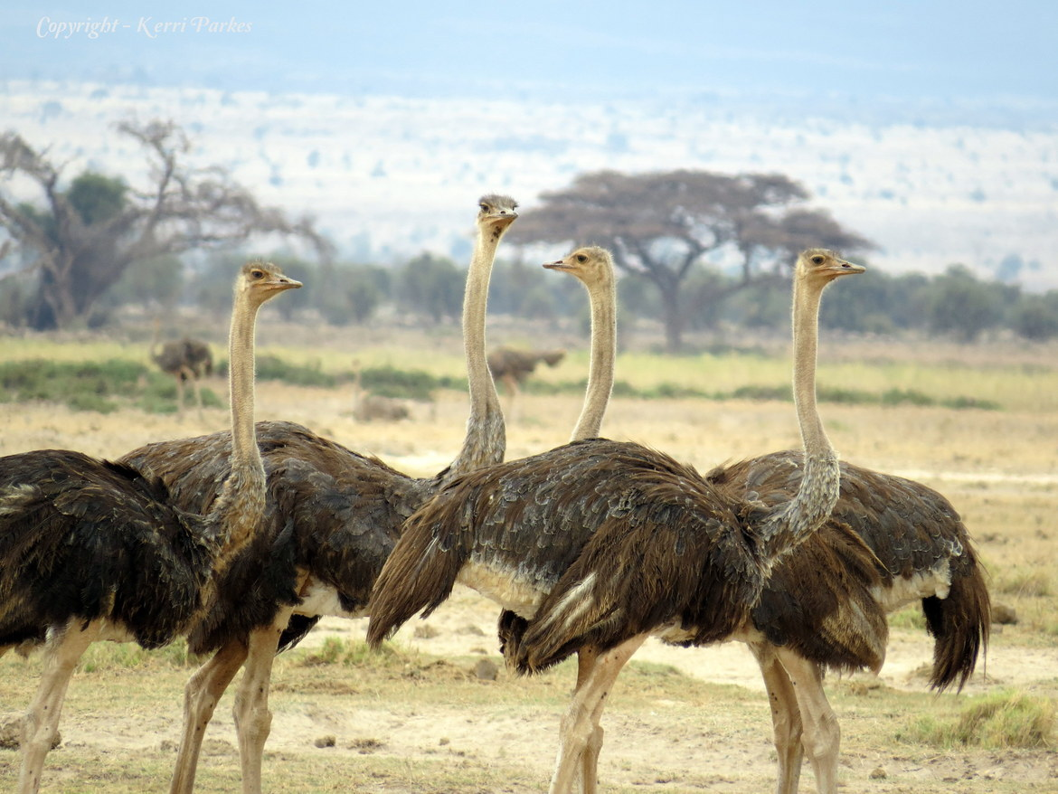 ostrich, ostrich photos, ostriches in Kenya, Africa wildlife, Kenya wildlife, Amboseli National Park, Amboseli National Park wildlife