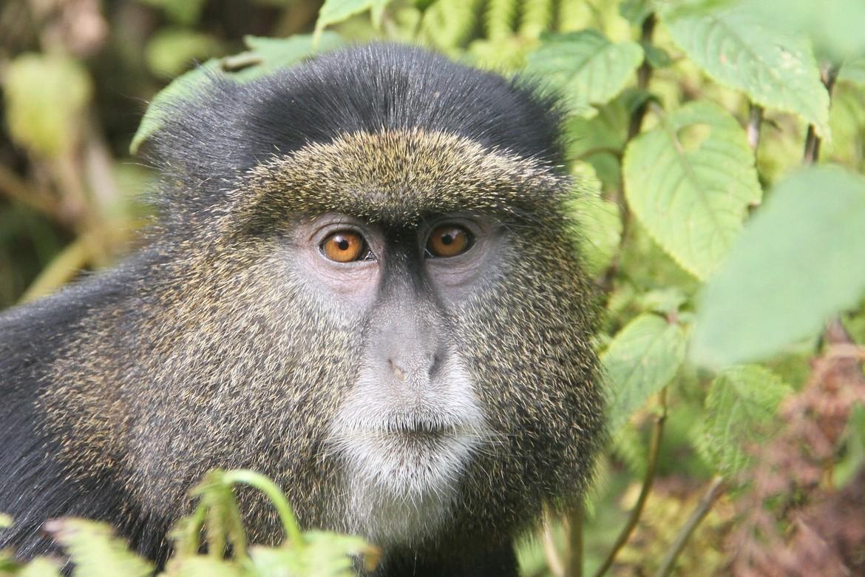 golden monkey, golden monkey photos, golden monkeys in rwanda, rwanda wildlife, rwanda monkeys, african monkeys, african safari, rwanda safari