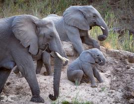 elephant, african elephant, elephant photos, african elephant photos, South Africa wildlife, South Africa wildlife photos, africa wildlife photos, africa wildlife, african safari photos, MalaMala wildlife, MalaMala wildlife photos, MalaMala Game Reserve