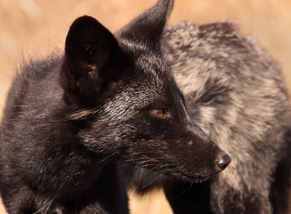 Black fox, San Juan Island, fox photography,