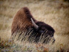 bison, bison photos, bison images, baby bison, buffalo, buffalo photos, buffalo images, Waterton Lakes wildlife, Waterton Lakes wildlife images, Canada wildlife, Waterton Lakes National Park, Waterton Lakes National Park photos
