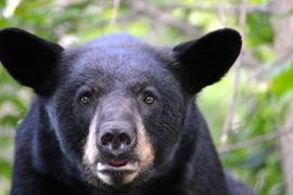 black bear, black bear photos, bears in US, photos of bears in US, Vince Shute Black Bear Sanctuary wildlife, Minnesota wildlife, bears in Minnesota