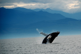 humpback whale, whale watching, San Juan Islands, Washington, breaching