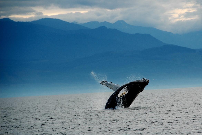 humpback whale, whale watching, San Juan Islands, Washington, breaching