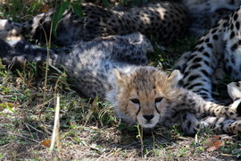 Cheetah, cheetah cub, cheetah cub photos, Kenya, Kenya wildlife, Kenya safari images, cheetah images, cheetah photos, kenya images, kenya photos, Maasai Mara, Maasai Mara wildlife