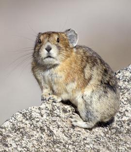 pica, pica photos, photos of picas, mount evans, mount evans wildlife, Colorado wildlife, picas in Colorado