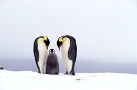 emeror penguins, penguin chick, antarctica, travel, cruise