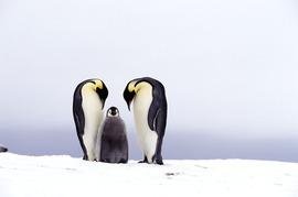 Grid antarctica emperor pair chick colin mcnulty 2005