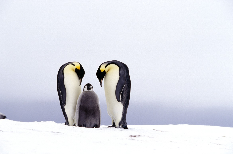 emeror penguins, penguin chick, antarctica, travel, cruise