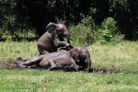 elephant, african elephant, elephant photos, african elephant photos, kenya wildlife, kenya wildlife photos, africa wildlife photos, africa wildlife, african safari photos, Maasai Mara wildlife, Maasai Mara wildlife photos, Maasai Mara, baby elephant