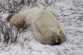 Polar bear, Churchill, Canada, Canada wildlife, polar bear images, polar bear pictures, Churchill images, Manitoba, Manitoba wildlife, Tundra Lodge, Tundra Lodge photos