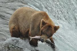 coastal brown bear, coastal brown bear photos, brown bears in Alaska, Alaska wildlife, Alaska bears, Brooks Falls, bears at Brooks Falls, Katmai National Park, bears at Katmai National Park, Katmai National Park bears