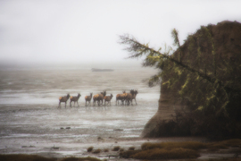 elk, elk photos, roosevelt elk, roosevelt elk photos, elk herd, elk herd photos, Willapa Bay, Washington wildlife, united states wildlife