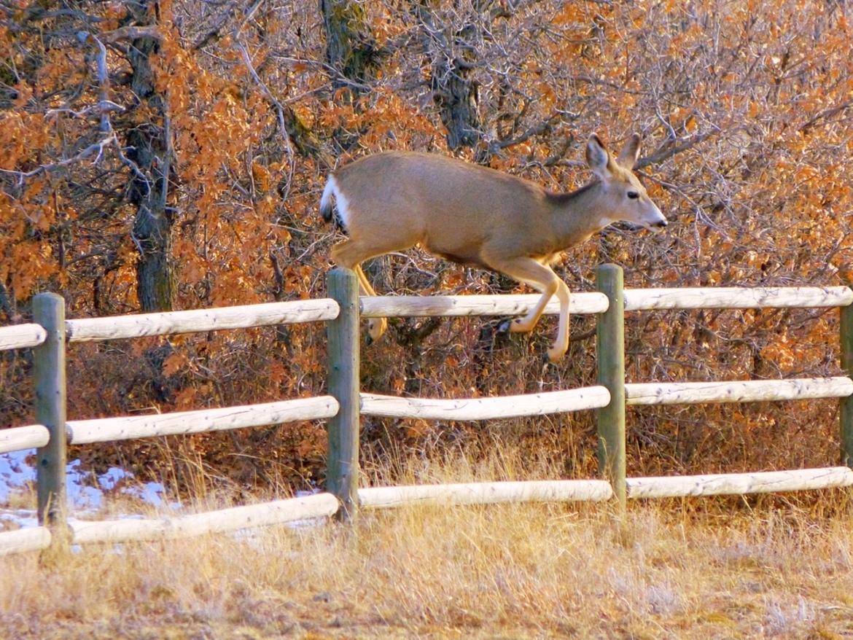 deer, deer photos, deer images, mule deer, mule deer photos, doe, doe photos, doe images, united states wildlife, Colorado wildlife, deer in Colorado