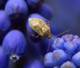 shield bug, shield bug photos, macrophotography, Calgary photography, blue bells,