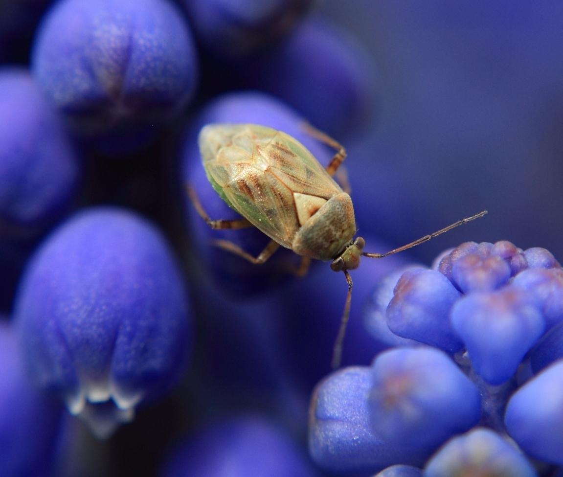 shield bug, shield bug photos, macrophotography, Calgary photography, blue bells,