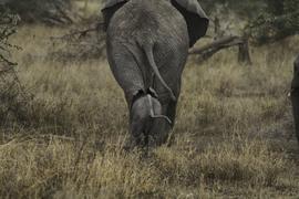 elephant, baby elephant, african elephant, elephant photos, african elephant photos, Tanzania wildlife, Tanzania wildlife photos, africa wildlife photos, africa wildlife, african safari photos, Serengeti National Park wildlife, Serenget wildlife photos