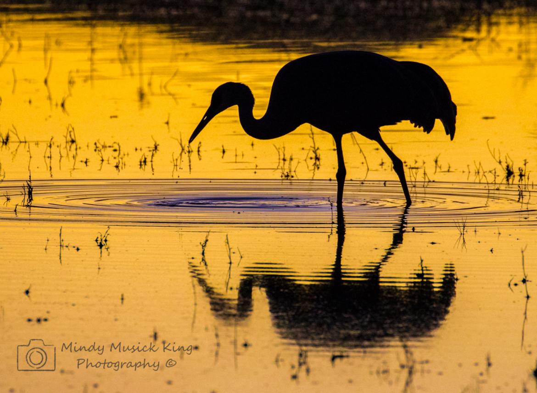 sandhill crane, sandhill crane photos, cranes, crane photos, cranes in the united states, united states wildlife, united states birds, wildlife in america, birds in america, birds in New Mexico, Bosque del Apache National Wildlife Refuge