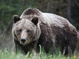 brown bear, grizzly bear, brown bear photos, grizzly bear images, grizzly eating, canadian bears, canadian wildlife, canadian wildlife photos, Kananakis Park, Kananakis Park photos, Alberta wildife, Alberta wildlife photos