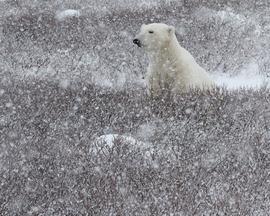 polar bear, polar bear in churchill, polar bear in canada, canada wildlife, canada polar bears, canada wildlife images, polar bear images, canada wildlife photos, polar bear photos, churchill wildlife, churchill wildlife photos, polar rover