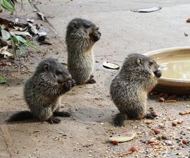 woodchucks, baby woodchucks, photos of woodchucks, Maryland wildlife, US wildlife