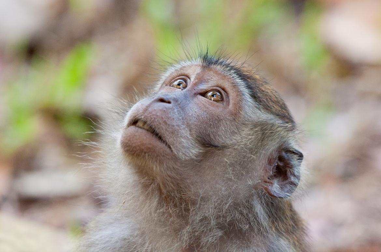 Long-Tailed Macaque, Bako National Park, Borneo