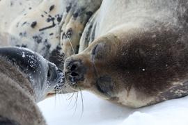 Weddell seal, weddell seal photos, seal photos, antarctica seals, antarctica seal photos, larsen harbor, larsen harbor wildlife, south georgia wildlife, south georgia