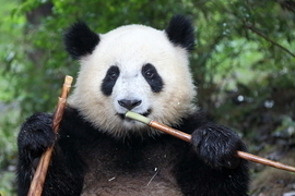 Grid 9ch panda