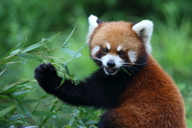 red panda, red panda photos, pandas in China, wild red pandas, Dujiangyan Panda Base, Chengdu